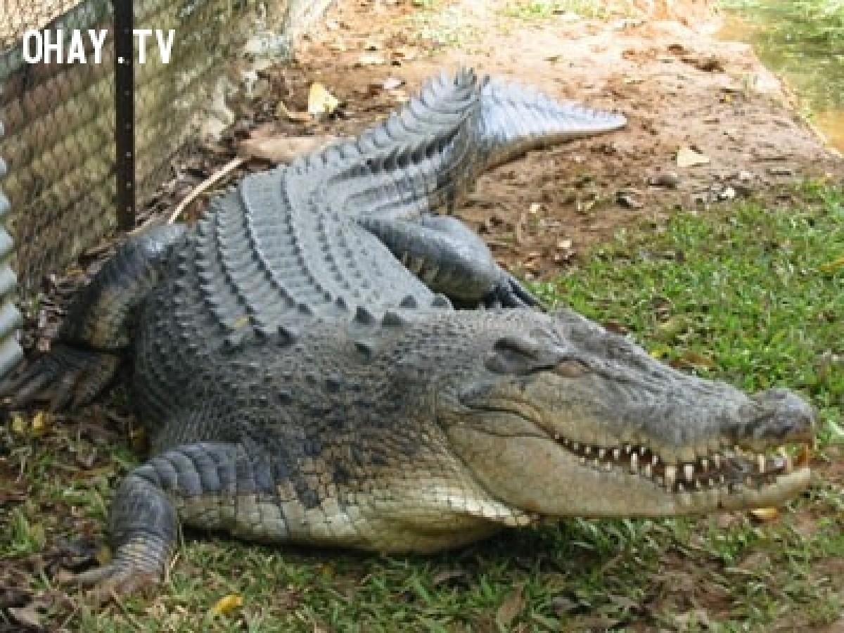 Cá sấu dài gần 2m trên sông Soài Rạp đã sa lưới