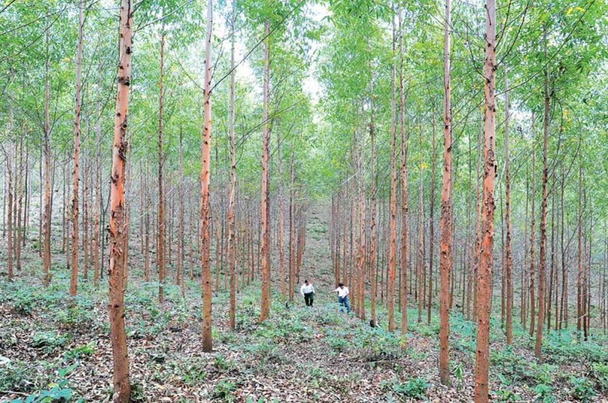 Bán rừng Keo lai 2014, 2015