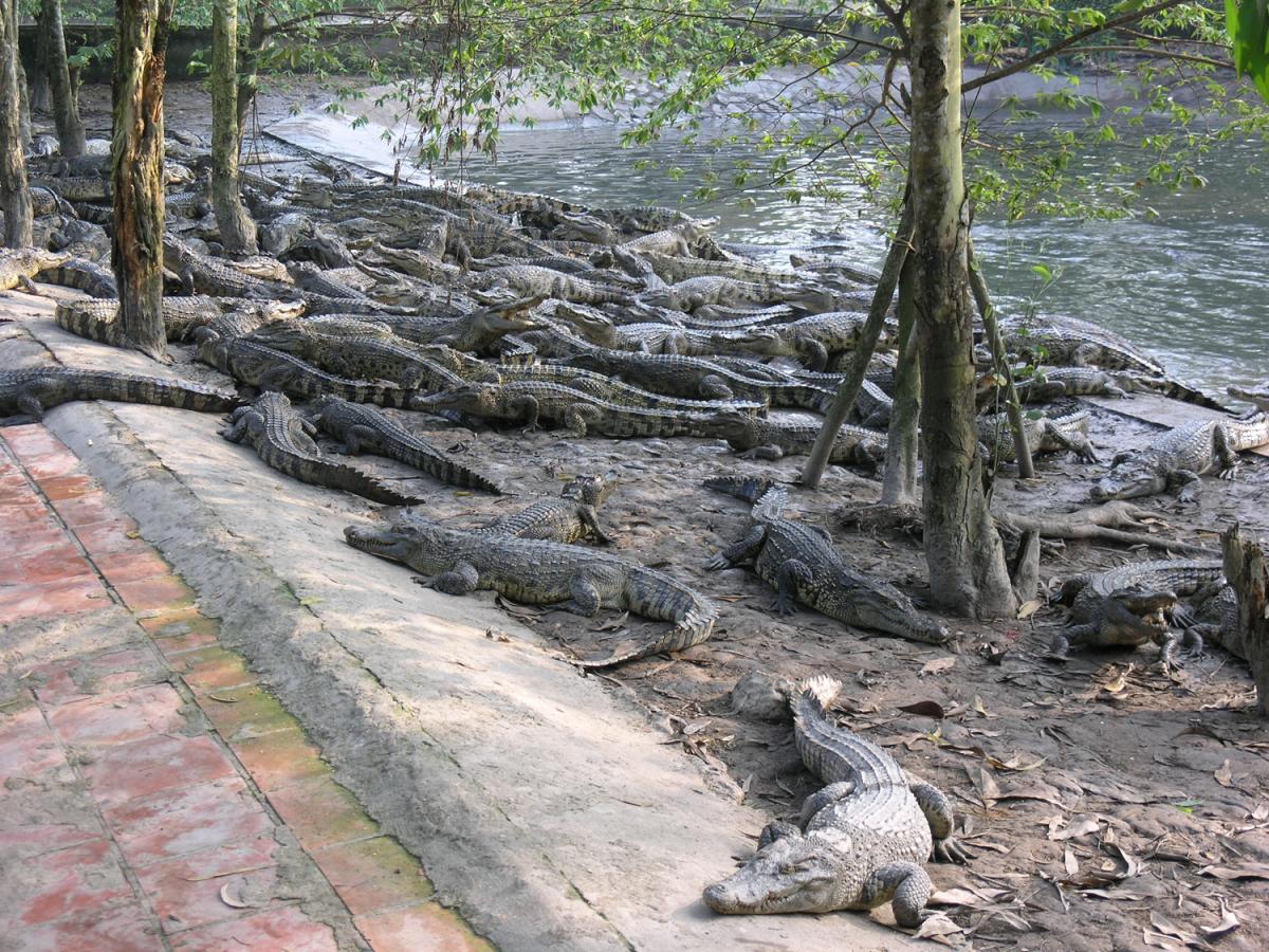 Thông báo bán cá sấu