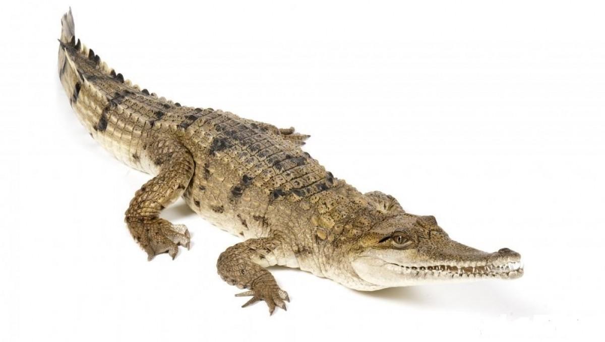Cá sấu thương phẩm