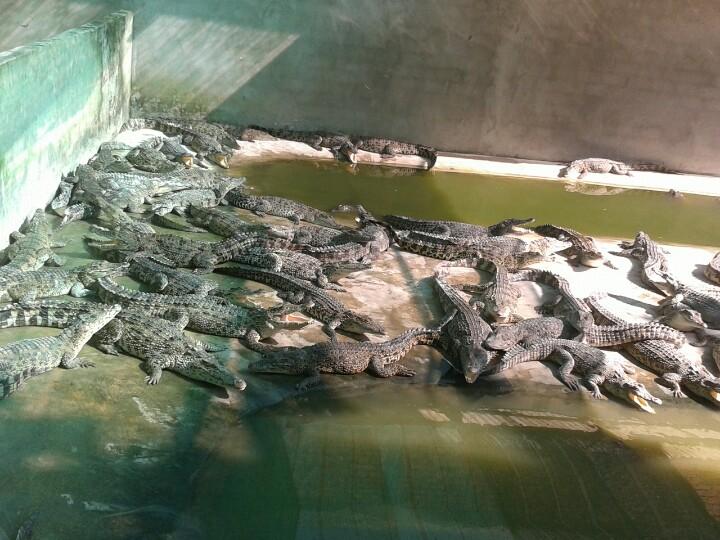 Cá sấu con 18 tháng tuổi